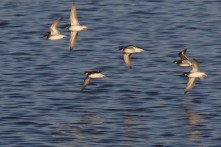 Red-necked Phalarope_6705_flight_Christian Artuso