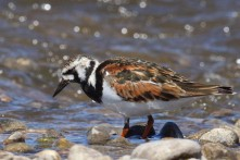 Ruddy Turnstone_6970_Christian Artuso