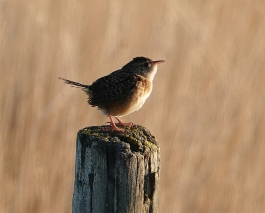 Sedge Wren ready for song lr_copyright Randall D. Mooi
