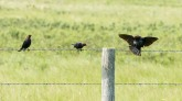 Male Brown-headed Cowbirds