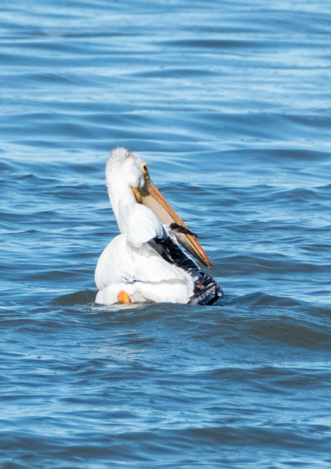 American White Pelican-East Shoal Lake-MB-000-LARGE-CROP-Lynnea A Parker-1110610.jpg