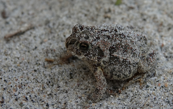 another Canadian Toad 4