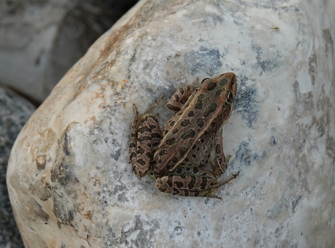 Delta Leopard Frog