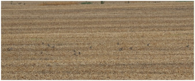 American Golden-Plover_0695_fall flock in stubble_Artuso
