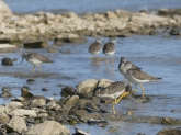 Lesser Yellowlegs Copyright Tim Poole