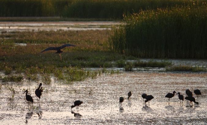 White-faced Ibis at sunset III