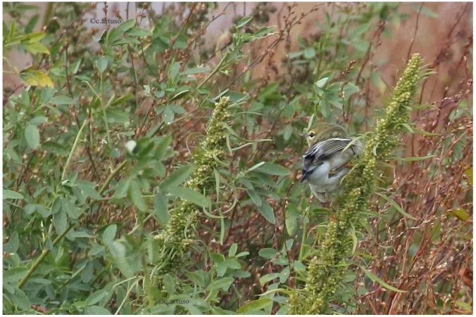 Blackpoll Warbler_2042_Artuso