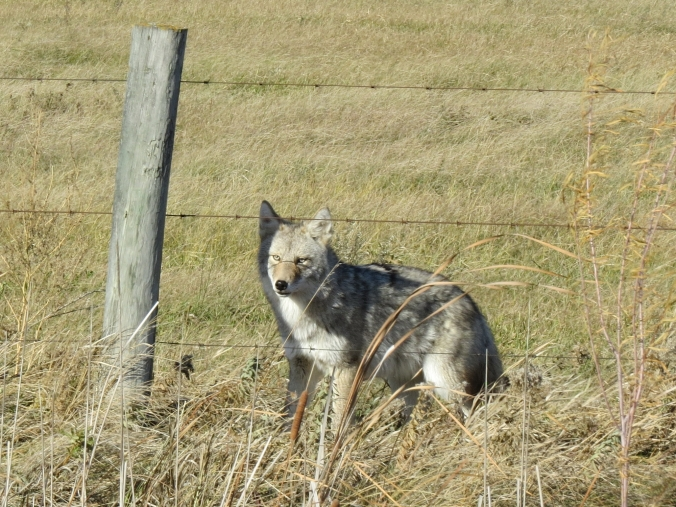 Coyote 254 W of Oak Lake resort IBA Oct 15 2018 cropped IMG_1188