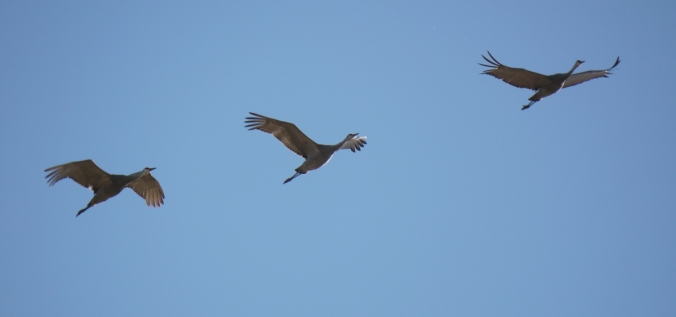 Sandhill Cranes Oak Lake IBA Oct 15 2018 P1330062