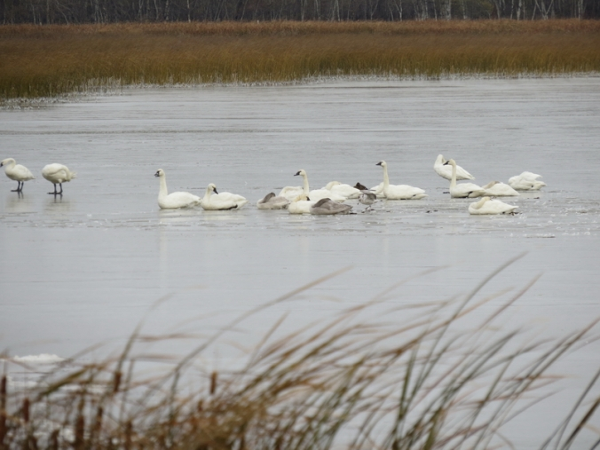 Tundra Swans in ice 254 S of Hwy 1 Oak Lake IBA Oct 15 2018 IMG_1105