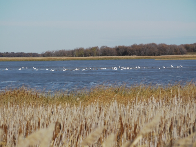 Tundra Swans N of Oak Lake resort IBA Oct 15 2018 P1330089