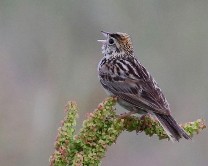 Baird's Sparrow_Artuso