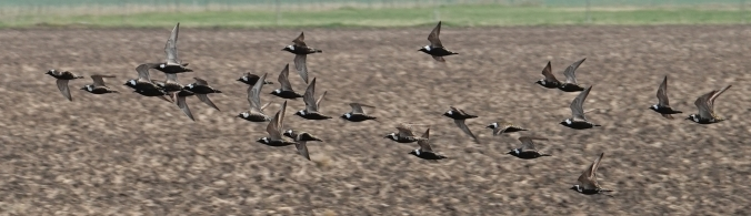 Golden Plover 2 cropped Whitewater May 29 2019