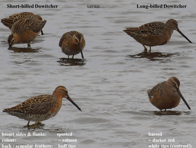 Long-billed versus Short-billed Dowitcher comparison.jpg