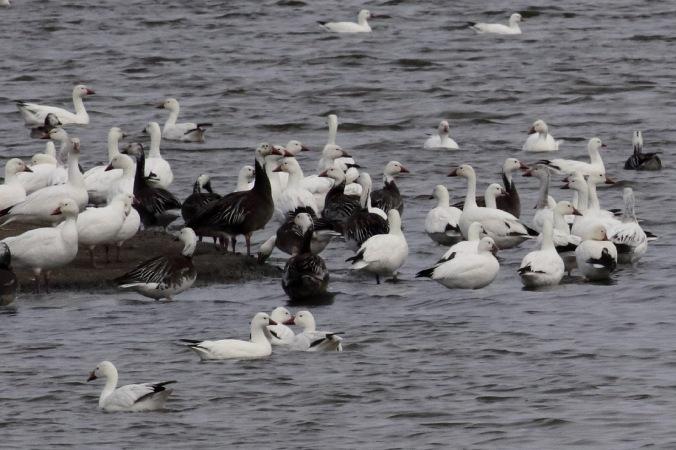 Ross's Goose_8254c_Snow Goose