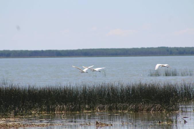 egrets.shoal.lakes