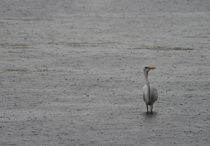 Great egret eating in the rain r.jpg
