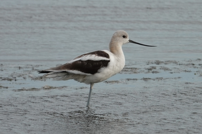 avocet fall plumage