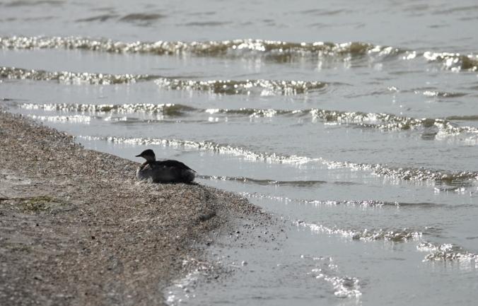 eared grebe ashore