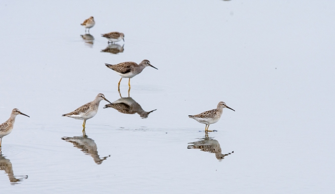 For IBA-Mixed Flock Shorebirds-Whitewater Lake-Manitoba-Lynnea A Parker-6931