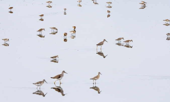 For IBA-Mixed Flock Shorebirds-Whitewater Lake-Manitoba-Lynnea A Parker-6936