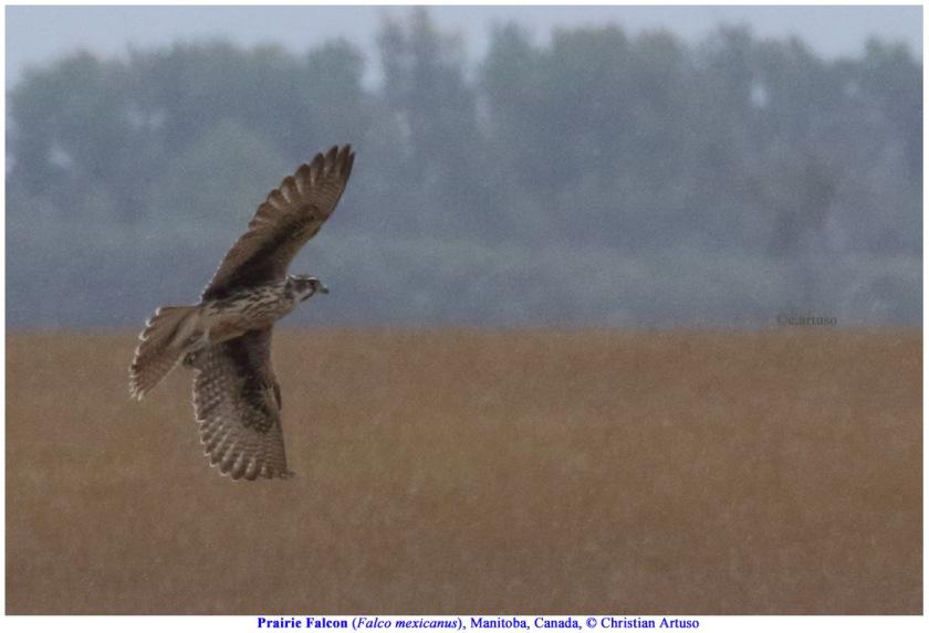 Prairie Falcon_3036_Artuso.jpg