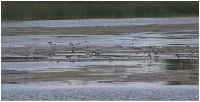 Semipalmated Sandpiper_2665_mixed flock landing.jpg
