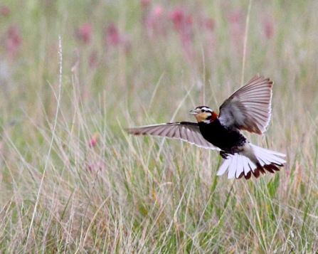 Chestnut-collared Longspur_Artuso_m flight_Artuso