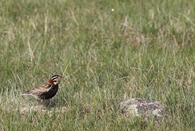 Chestnut-collared Longspur_9910_corner_Artuso