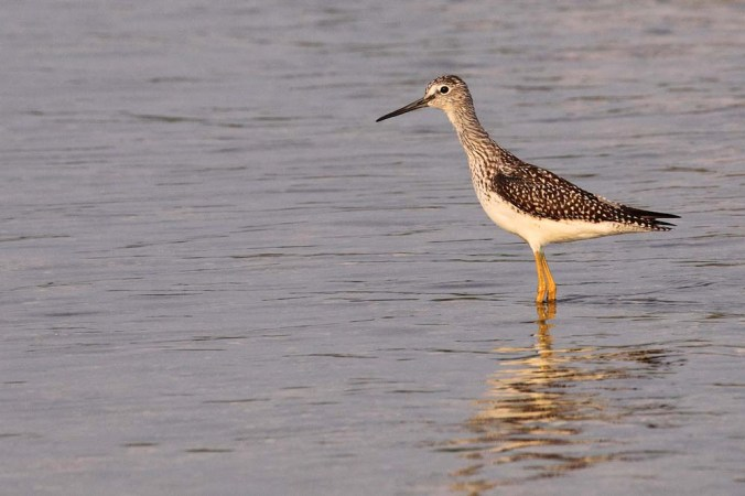 Greater Yellowlegs_9667
